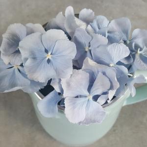 Powder Blue Hydrangea