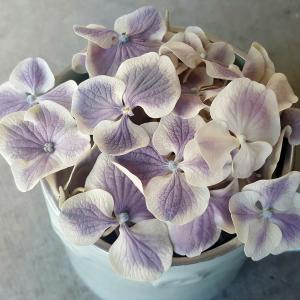 Harlequin Lilac & White Hydrangea